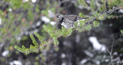 Spruce Grouse in Jack Pine along Sawbill Trail Superior National Forest Cook County MN IMG_7785-4