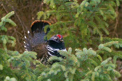 Spruce Grouse male courtship display Stoney River Forest Road Superior National Forest Lake County MN  IMG_0265