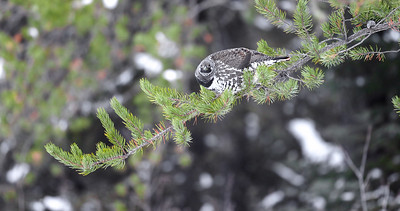Spruce Grouse in Jack Pine along Sawbill Trail Superior National Forest Cook County MN IMG_7785-6