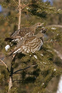 Spruce Grouse often pick grit from roads in winter, This pair was doing just that when they spooked and flew into a small Jack Pine [January; Hwy 1, Lake County, Minnesota]