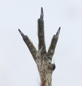 Dead Spruce Grouse found by Erik Bruhnke