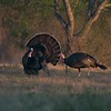 April is mating season for Wild Turkeys in South Texas [April; Sick Dog Ranch near Alice, Texas]