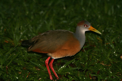 Gray-necked Wood Rail,  immature