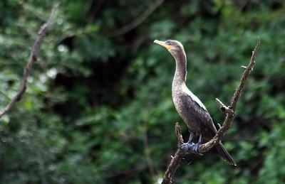 Cormorant female