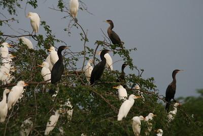 Great Egrets & Cormorants