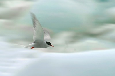 An Arctic Tern flys past a glacial lake [July; Iceland]