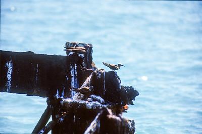Black Noddy and Brown Noddy Fort Jefferson Florida Keysbird SLIDE SCAN 6