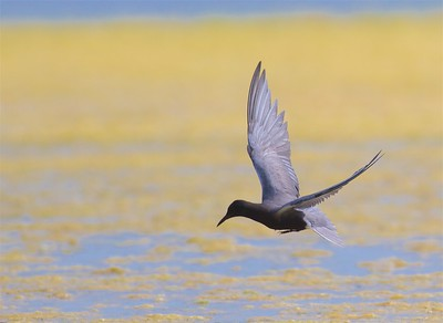 Black Tern Oak Hammock Marsh Manitoba IMG_0204