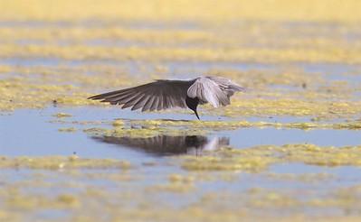 Black Tern Oak Hammock Marsh Manitoba IMG_0196