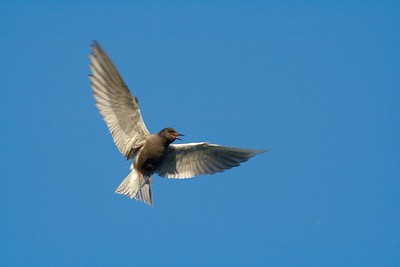 Black Terns are aggressive defenders of their nests [June; Little Cowhorn Lake, Itasca County, Minnesota]