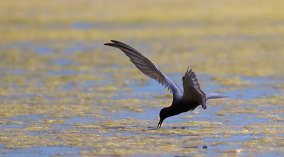 Black Tern Oak Hammock Marsh Manitoba IMG_0205 (1)