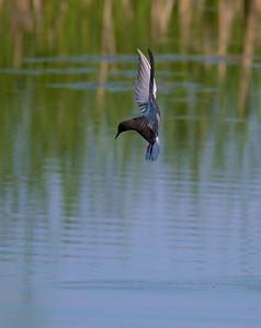 Black Tern Oak Hammock Marsh Manitoba IMG_0312