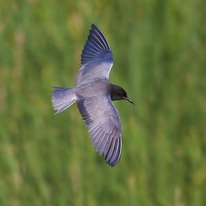 Black Tern Oak Hammock Marsh Manitoba IMG_0135