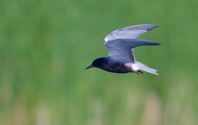 Black Tern Oak Hammock Marsh Manitoba IMG_0323