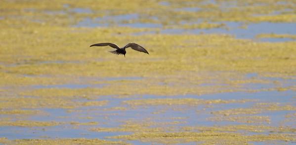 Black Tern Oak Hammock Marsh Manitoba IMG_0407