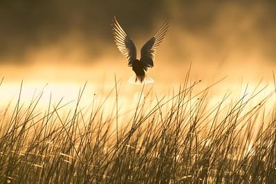 Black Tern nesting colony [June; Little Cowhorn Lake, Itasca County, Minnesota]