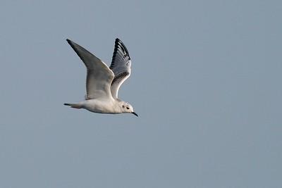 Bonaparte's Gull (Larus philadelphia) over Lake Superior [September; Duluth, Minnesota]