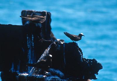 Black Noddy and Brown Noddy Fort Jefferson Florida Keys bird SLIDE SCAN 7