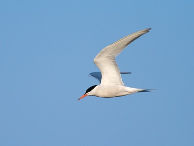 Common Tern courtship involves the male flying around with a fish in his beak to impress the female. Later he will offer it to her [August; Park Point, Duluth, Minnesota]