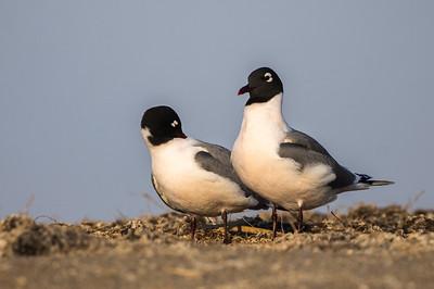 Franklin's Gull pair Chase Lake NWR Stutsman County ND  IMGC8880