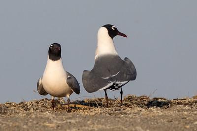 Franklin's Gull pair Chase Lake NWR Stutsman County ND  IMGC8877