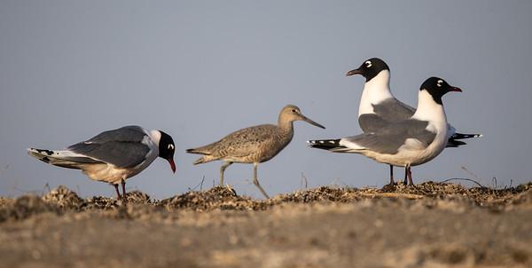 Franklin's Gull pair Chase Lake NWR Stutsman County ND  IMGC8908