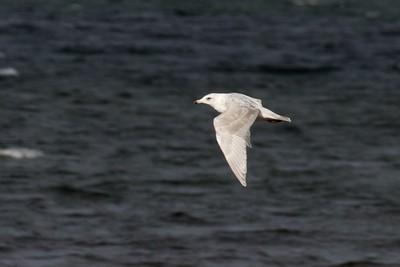 Nelson's Gull? Herring Gull X Glaucous Gull WI Pt Superior WI IMG_0030979