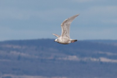 Nelson's Gull? Herring Gull X Glaucous Gull WI Pt Superior WI IMG_0030972