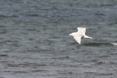 Nelson's Gull? Herring Gull X Glaucous Gull WI Pt Superior WI IMG_0030977