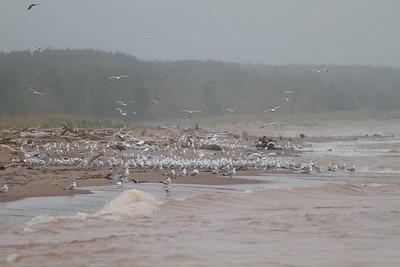 gulls Wisconsin Point Superior WI IMG_9005