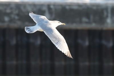 Nelson's Gull? hybrid Canal Park Duluth MN IMG_0054598