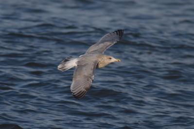 Nelson's Gull? hybrid Canal Park Duluth MN IMG_0054600