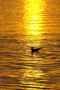 A Ring-billed Gull silhouetted by a sunset over Lake Superior bay [October; Duluth, Minnesota]