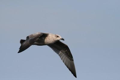 Herring Gull over Lake Superior[September; Port of Duluth, Lake Superior, Duluth, Minnesota]