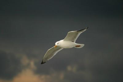 Herring Gull [April; Galveston Ferry, Texas]