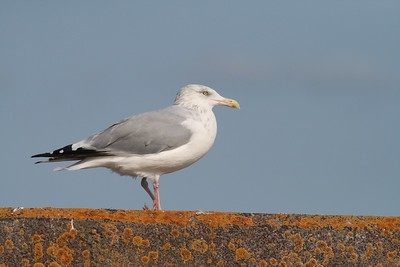 Herring Gull Lake Superior[September; Port of Duluth, Lake Superior, Duluth, Minnesota]