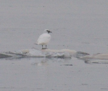 A very rare visitor from the arctic; an Ivory Gull rests on an ice floe in Lake Superior [January; Duluth, Minnesota]