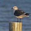 The call of the Laughing Gull can indeed sound like raucous laughter [October; Estero Beach, Florida]