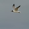 The call of the Laughing Gull can indeed sound like raucous laughter [April; Galveston ferry, Texas]