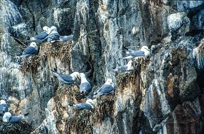 Mew Gull colony Kenai Fjords National Park Alaska AK SLIDE SCAN BIRDS-25