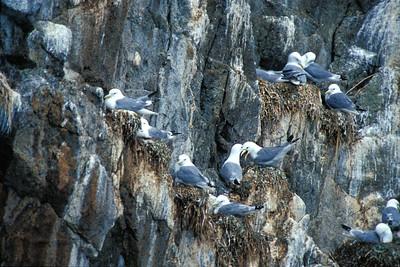 Mew Gull colony 01-0070AK gull nesting clif copy