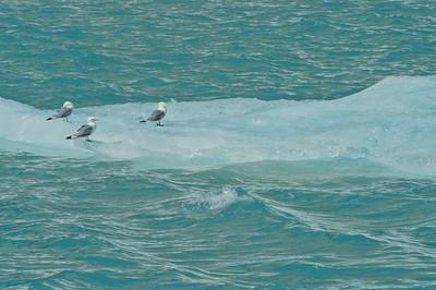 Mew Gulls Wildlife Cruise Wrangell-St  Elias N P  Alaska-045 scan-098 copy