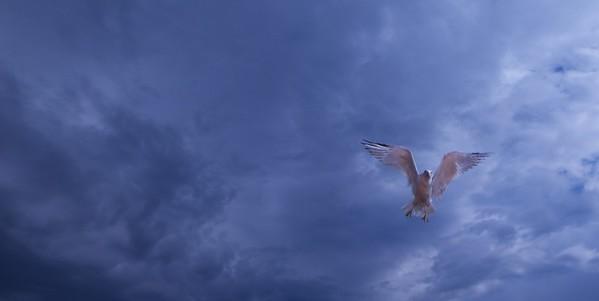 Gulls & Terns