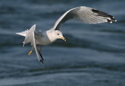 Ring-billed Gull on Lake Superior [September; Port of Duluth, Lake Superior, Duluth, Minnesota]