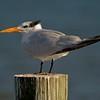 The Royal Tern resembles an old balding man with a receding hair line! [October; Estero Beach, Florida]