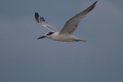 Sandwich Tern Estero Beach Lagoon Ft  Myers Beach FL IMG_3558 CR2
