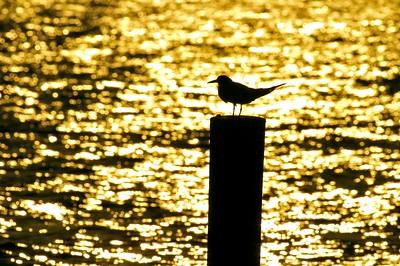 Sandwich Tern [October; Estero Beach, Fort Meyers, Florida]