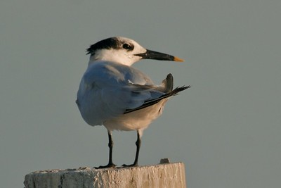 Sandwich Terns have a tiny yellow tip on their black bill [October; Estero Beach, Fort Meyers, Florida]