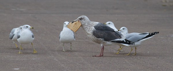 """The Slaty-backed Gull (Larus schistisagus) breeds in Siberia and northeast Asia. It is an extremely rare visitor to the Great Lakes. This adult non-breeding bird was found by Karl Bardon in Duluth, Minnesota on October 28th. Note the dusky face and streaking, dark gray back, pink legs, """"string of pearls"""" subapicular spots on primaries, and wide white trailing edge of inner primaries [November 30; Canal Park, South breakwall, Duluth, Minnesota]"""
