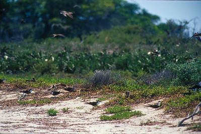 Sooty Tern colony Fort Jefferson Florida Keysbird SLIDE SCAN 5